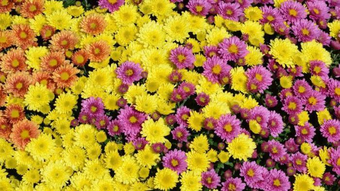crysanthmes